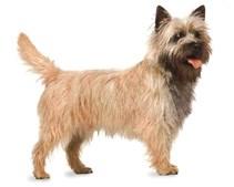 35º - Cairn Terrier