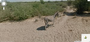 Burro passeia no Botswana