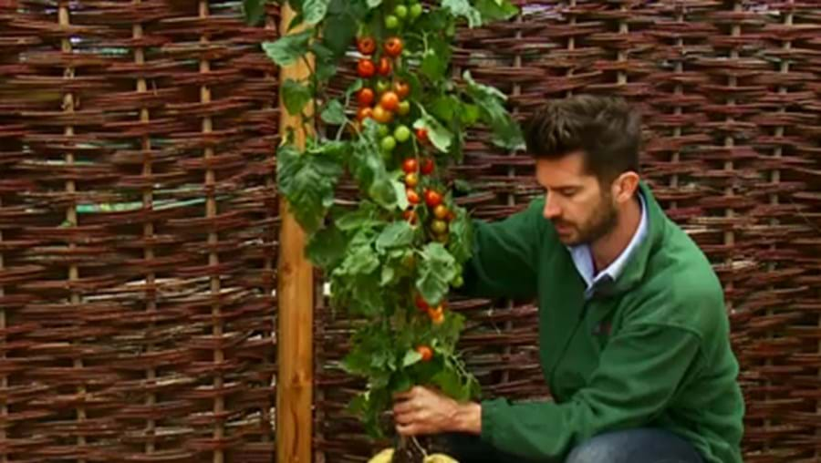A planta chama-se 'Tomtato'