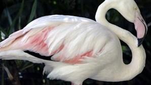 Morreu o flamingo mais velho do mundo aos 83 anos