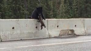 Mãe urso salva filho em autoestrada