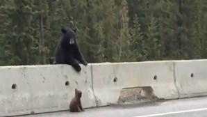 Mãe urso salva filho bebé da autoestrada