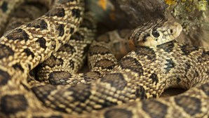 Investigadores do Porto desenvolvem antídotos para venenos de serpentes