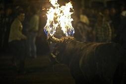 Touro com chamas nos cornos durante o festival 'El Novillo de Bombas', em Mira, a norte de Quito, a capital do Equador