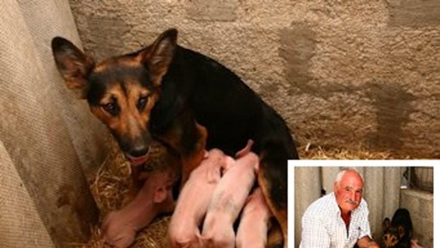Dinis Martins, de 63 anos, é donoda cadela pastor-alemão, que tem apenas dois anos. Crias nasceram em julho