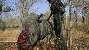 Zoo checo incinera 53 quilos de chifres de rinoceronte