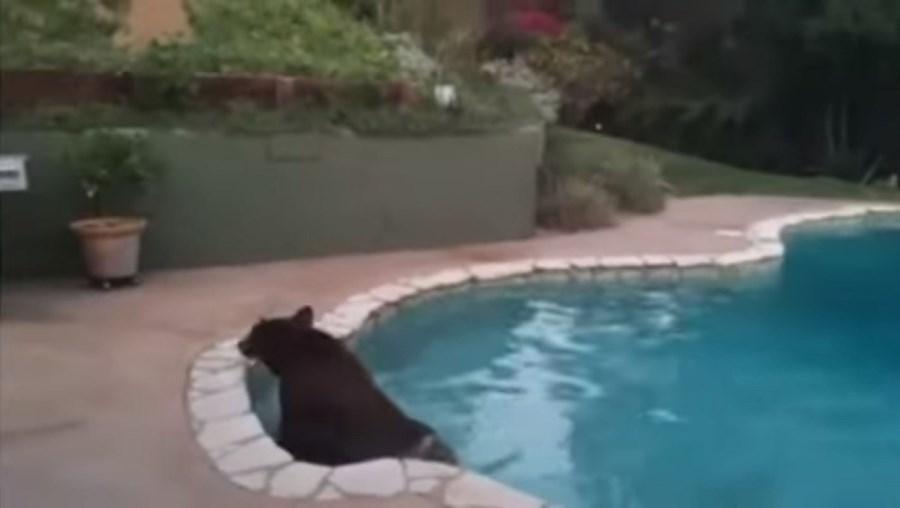 Urso banhou-se na piscina da família