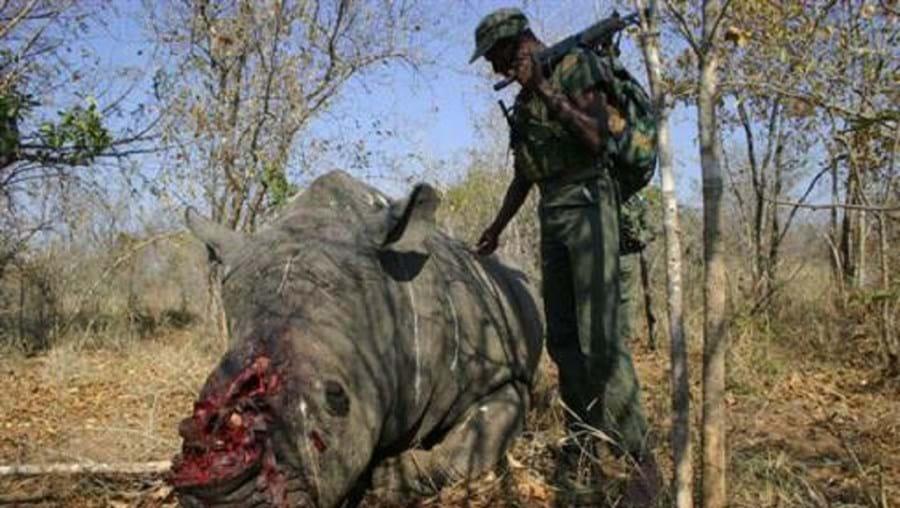 Pelo menos 769 rinocerontes foram mortos na África do sul desde o início deste ano por causa dos chifres