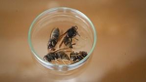 Guimarães elimina 37 ninhos de vespa asiática
