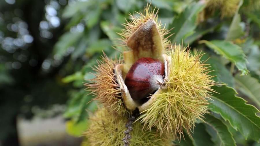 Quebra de produção de castanha atingiu principalmente a serra da Padrela, distrito de Vila Real