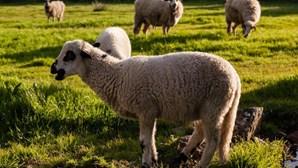 Lobos atacam rebanho de ovelhas