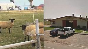 Faz sexo com uma ovelha