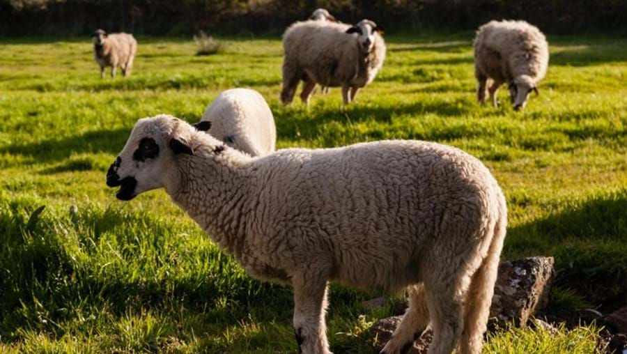 O rebanho de 68 ovelhas estava no cercado no campo quando foi atacado