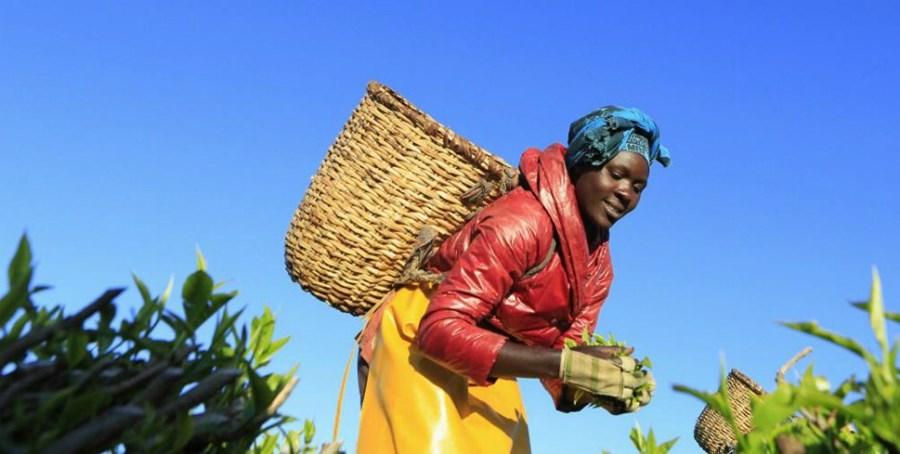 Agricultora colhe folhas de chá, em Nairobi, no Quénia