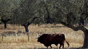 GNR recupera bovinos furtados