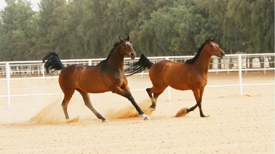 Apaixonado por cavalos, Abdullah bin Abdul-Aziz Al Saud tinha mais de mil nos seus estábulos