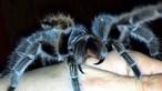 Homem compra tarântula para afastar sogra 'insuportável' com fobia a aranhas