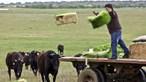Alentejo é pioneiro na criação de vacas de raça japonesa