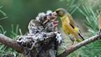 Proibição de armadilhas para aves com aceitação alargada no Parlamento