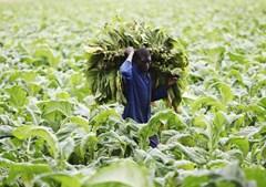Um agricultor trabalha numa plantação de tabaco na capital do Zimbabué, Harare