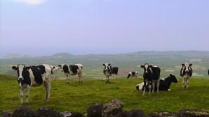 Bem-vindo aos Açores, terra de vacas felizes
