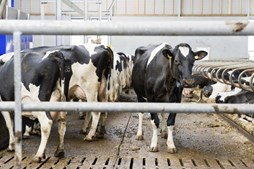 A fermentação no rúmen dos bovinos, ovinos e caprinos, uma das quatro cavidades do seu estômago, produz o metano