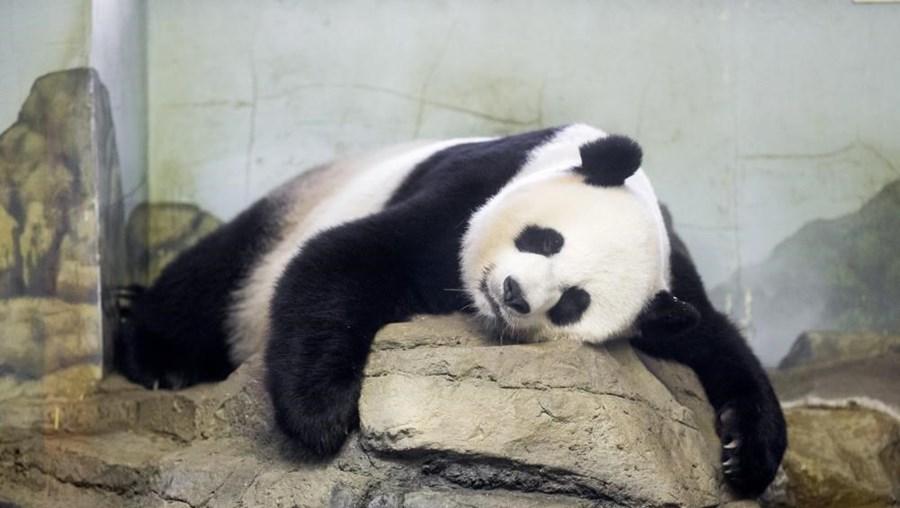Mei Xiang está no Jardim Zoológico de Washington