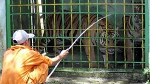 Tigre que matou tratadora não será abatido