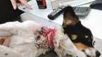 Cadela encontrada em contentor do lixo