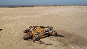 Tartarugas dão à costa já em decomposição