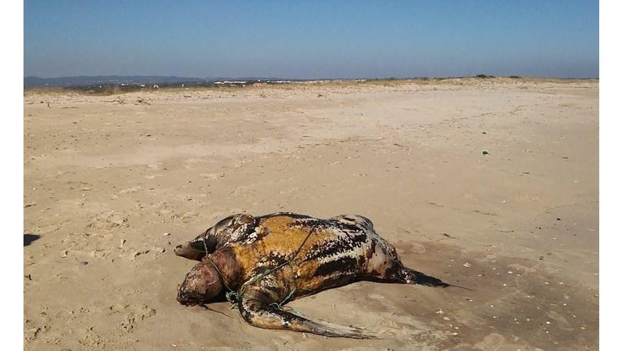 Tartaruga gigante foi encontrada morta na praia de Cabanas de Tavira