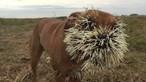 Porco-espinho ataca cães