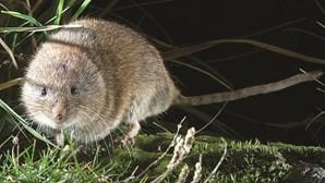 Novo roedor em Portugal