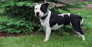 Staffordshire Bull Terrier: Inglaterra é o seu país de origem. Tem entre 10 e 12 anos de esperança de vida, uma altura que ronda os 30 e os 35 centímetros e pesa 17 quilos