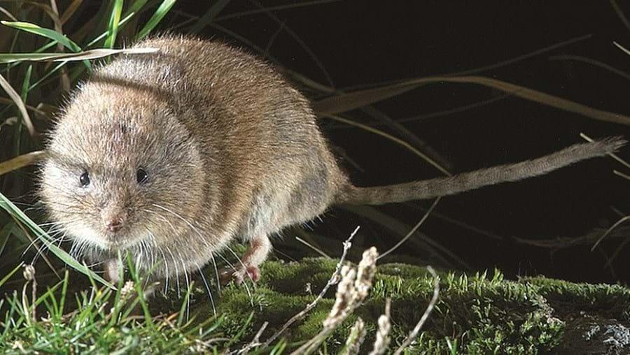 O rato-das-neves descoberto em Montesinho