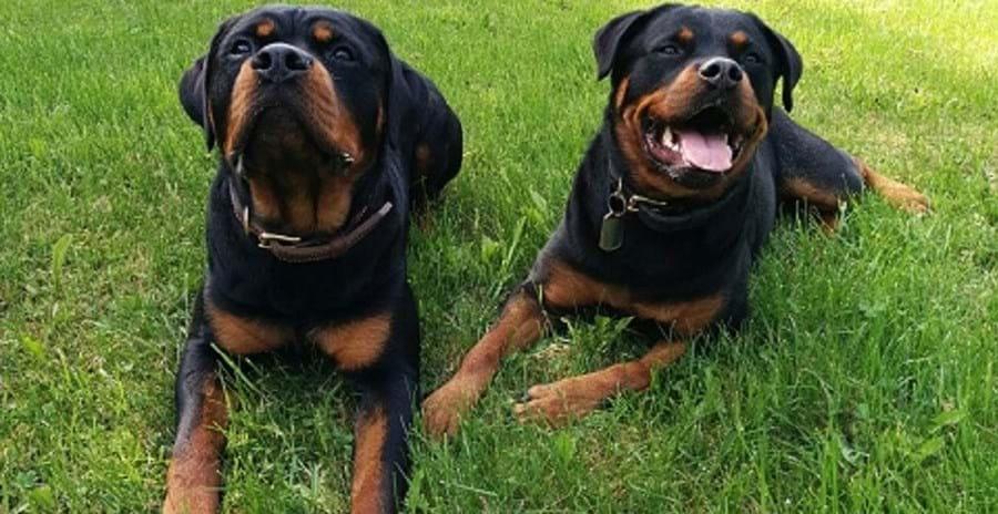 Rottweiler: a Alemanha é o seu país de origem. Tem entre 8 e 12 anos de esperança de vida, uma altura de 70 centímetros e pesa 50 quilos