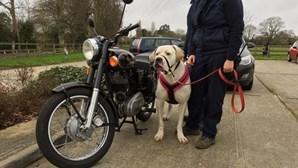 Cão com 76 quilos procura novo dono