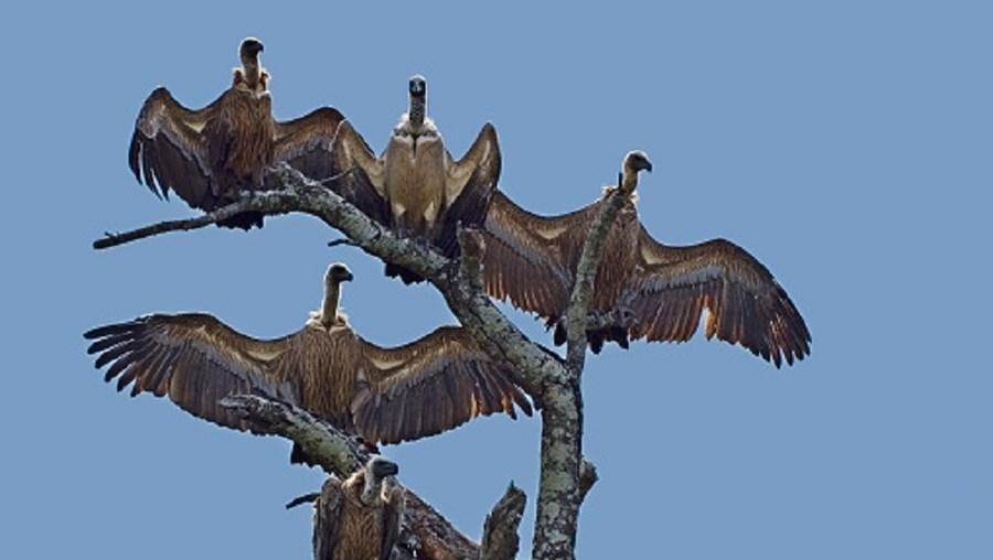 Mais de 100 abutres foram encontrados mortos