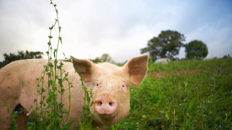 Homem foi apanhado pela família a fazer sexo com uma porca