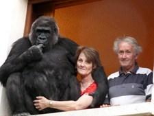 Casal francês adotou gorila em bebé