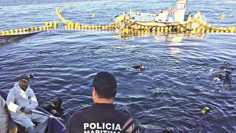 Esta semana já foram retirados cerca de 100 atuns das armações, com uma média de 240 quilos cada um