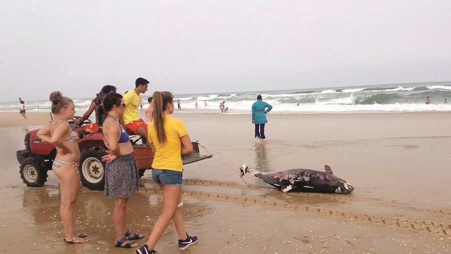 Golfinho adulto, com cerca de dois metros, foi encontrado morto na praia do Barril, em Tavira, em meados de julho