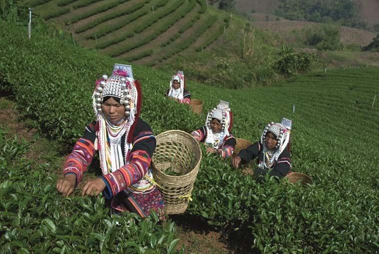 Mulheres das  tribos das montanhas colhem folhas de chá em Doi Mae Salong