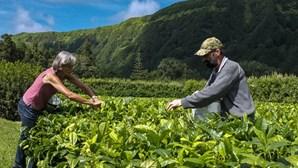 Chá branco dos Açores desperta interesse por todo o mundo