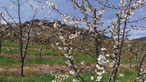 Cerejeira em flor, uma das atrações turísticas do concelho de Resende.