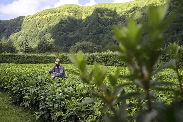 Funcionários recolhem folhas na única plantação de chá branco, variante Índia, nas Sete Cidades, ilha de São Miguel, Açores