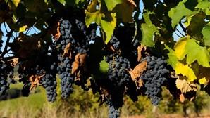Beira Interior prevê quebra de 15% na produção de vinho