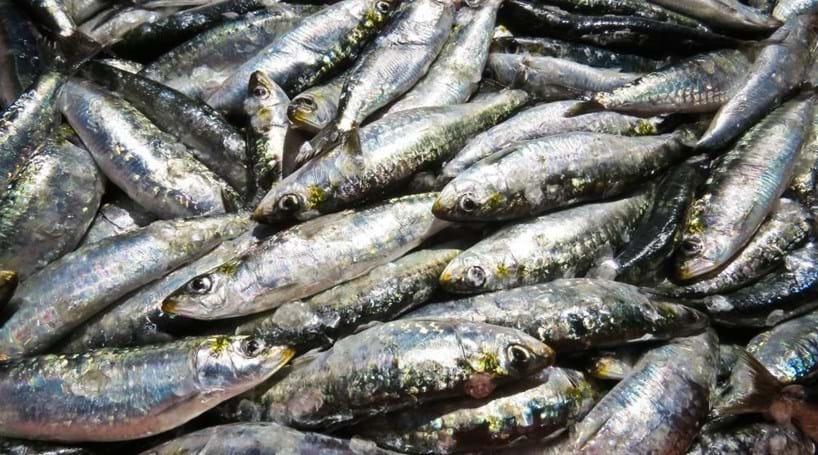 Resultado de imagem para Pesca da sardinha proibida a partir deste sábado