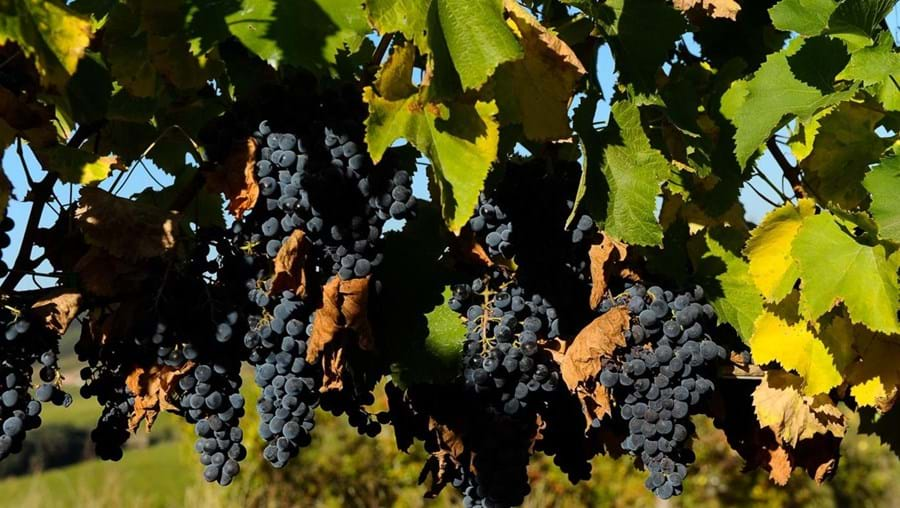 Vinhas da Beira vão produzir menos vinho, mas de boa qualidade