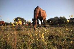 Alter do Chão é terra de arte equestre, conhecida pela coudelaria